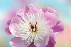 One paeony flower and soft pastel background Royalty Free Stock Image
