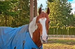 One Paint Horse with a Blue Blanket On Royalty Free Stock Images
