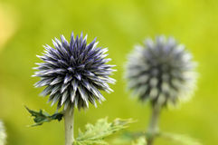 One Pair…. Photo of a pair of thistles, the one in the foreground is in sharp focus and the one in the background is out of focus stock image
