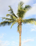 One palm tree Stock Images