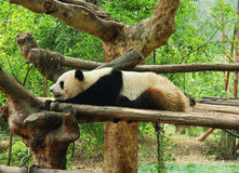 One panda resting Royalty Free Stock Images