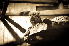 One panther in a zoo Royalty Free Stock Image