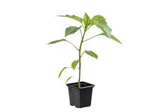One Paprika (Capsicum, Peppers) Plant Vegetable Seedling isolate Royalty Free Stock Photos