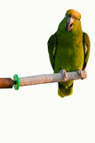 One parrot. On the white background Royalty Free Stock Photography