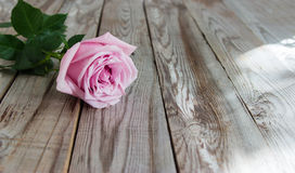 One pastel rose on wooden background. One pastel rose on grey wooden background Stock Photo
