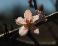 One peach blossom Royalty Free Stock Photography