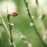 One peach blossom flower bud Stock Images