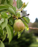 One pear hanging on a branch with green leaves Stock Photography