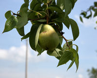 One pear hanging on a branch with green leaves Royalty Free Stock Images