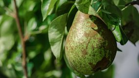 Green pear on the fruit plant biologic natural. One pear very sweet on a fruit plant biologic, with green leaves stock photography