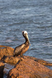 One Pelican basting in the morning sunshine. While sitting on a rock stock image