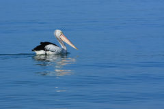 One pelican cruising on blue water Stock Photos