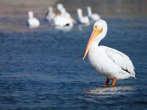 Side view of an American White Pelican standing in water. One pelican on the foreground and a small group of pelicans blurred on the background Stock Image