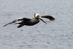 One pelican gliding over water Stock Photography