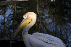 One pelican standing near water. Beautiful pelican standing near water in zoo area Stock Image