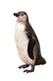 One penguin Royalty Free Stock Photography