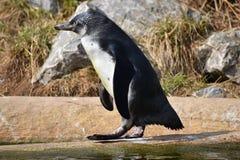One penguin is walking along a shore of a lake Stock Photos