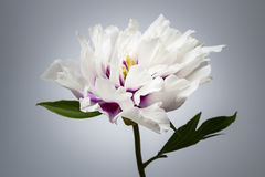 One peony flower Royalty Free Stock Photos
