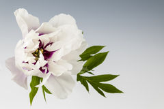 One peony flower Stock Photos