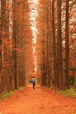 One people walk in Autumn Forest Stock Photo