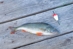 One perch and a red float Royalty Free Stock Image