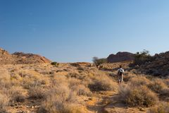 One person hiking in the Namib desert, Namib Naukluft National Park, Namibia. Adventure and exploration in Africa. Clear blue sky. One person hiking in the Royalty Free Stock Images