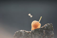 One piece of physalis fruit. On the top of a rock Royalty Free Stock Photos
