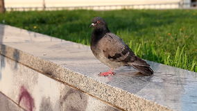 One pigeon in the city. HD stock footage