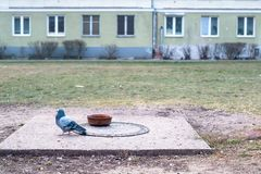 One pigeon columba domestica in the city, bird droppings on the stock photography