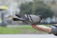 One pigeon feeding and balancing on man's hand Royalty Free Stock Images