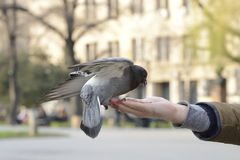 One pigeon feeding and balancing on man's hand Royalty Free Stock Photo