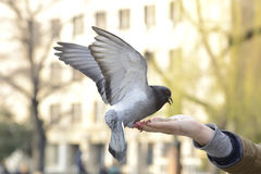 One pigeon feeding and balancing on man's hand Royalty Free Stock Photos