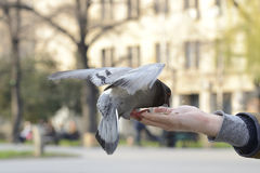 One pigeon feeding and balancing on man's hand Stock Image
