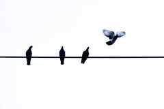 One pigeon fly like a freedom. One pigeon fly  but another hang on wire Stock Images