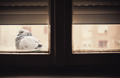 One Pigeon in Front of Window Royalty Free Stock Image
