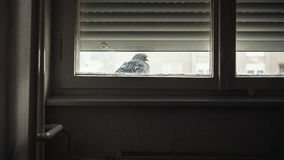 One Pigeon in Front of Window Royalty Free Stock Photos