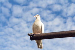 One pigeon perch on a Rack Royalty Free Stock Images