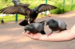 One pigeon sitting on the back of another. Pigeons on a female hand pecking seeds Stock Photography