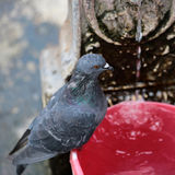 One pigeon sitting Royalty Free Stock Photography