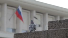 One pigeon on the street. Backgraund russian flag stock footage