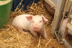 One Piglet royalty free stock photography