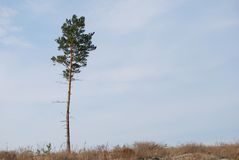 One pine Royalty Free Stock Image
