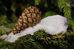 One pine cone lies on a spruce paw Royalty Free Stock Photos