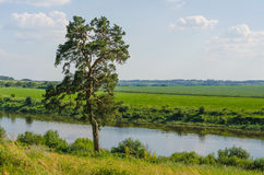 One pine standing near a river Royalty Free Stock Photo