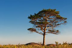 One pine tree Stock Images