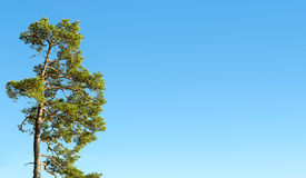 One pine tree and blue sky Royalty Free Stock Photography
