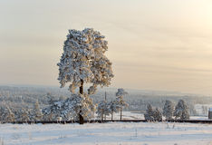 One pine tree covered by snow. Stock Photo