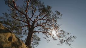 One pine tree that grows on stone slopes. The sun`s rays Shine through the branches of a pine. stock video footage
