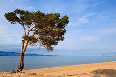 One pine tree by the lake  Baikal Stock Photography