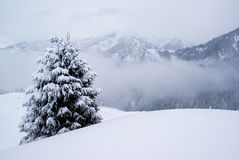 One pine tree and snow Stock Images